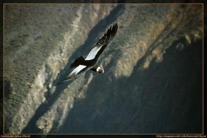 El cóndor pasa en el Cañón del Colca
