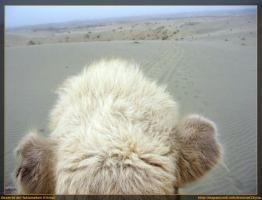 Si yo fuera camello
