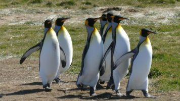 Magallanes, Tierra del Fuego y el Pingüino Rey